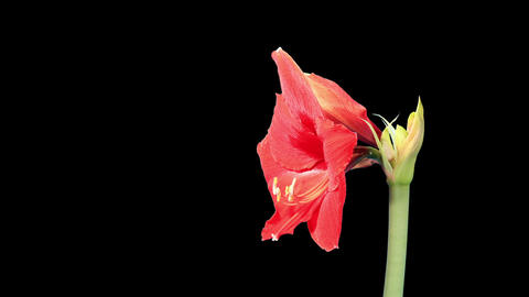 Growth of red hippeastrum Footage