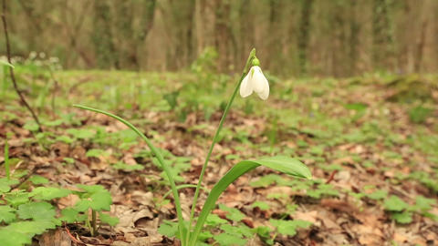 Snowdrop in the mountains (Galanthus) Footage