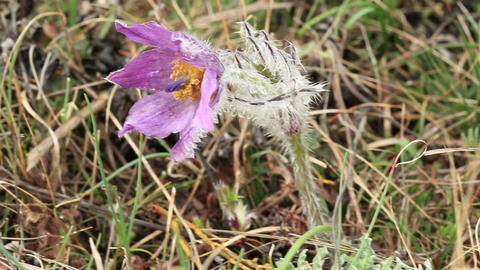 Pulsatilla patens in the mountains (Pulsatilla patens) Stock Video Footage