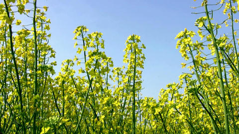 Field of canola and the blue sky Stock Video Footage