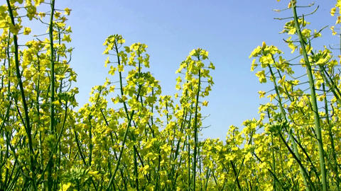 Field of canola and the blue sky Footage