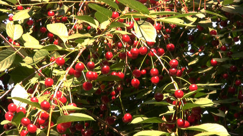 Berries and leaves of cherry Stock Video Footage