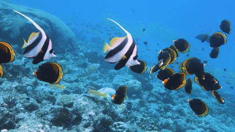 Pair of Bannerfish or false moorish idol, Great Barrier Reef, Australia Tourism Live Action