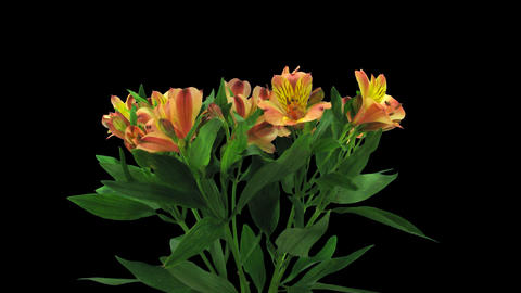 Time-lapse of opening yellow-red peruvian lily with ALPHA channel Footage