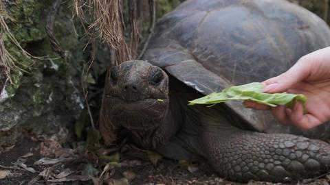 A Huge Aldabra Giant Tortoise Eats Food on a Prison Island in Zanzibar, Africa Live Action