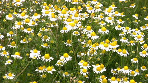 Camomile field Stock Video Footage