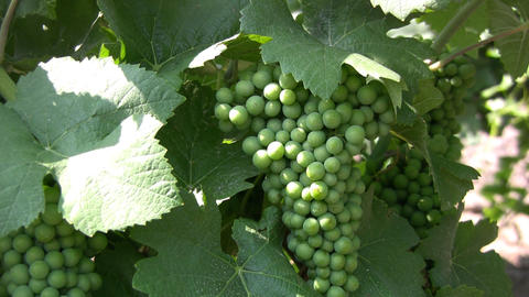 Bunch Of Grapes stock footage