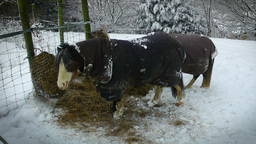 Ponies In The Snow Stock Video Footage