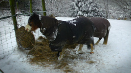 Ponies In The Snow stock footage
