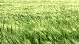 Sea wheat with wind Stock Video Footage