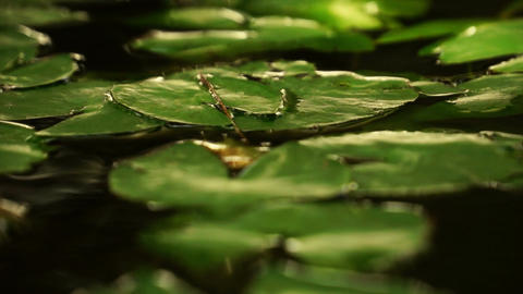 Lilly Pads Stock Video Footage