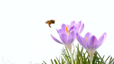 Bee on Crocus Stock Video Footage