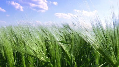 Wheat field and blue sky Stock Video Footage