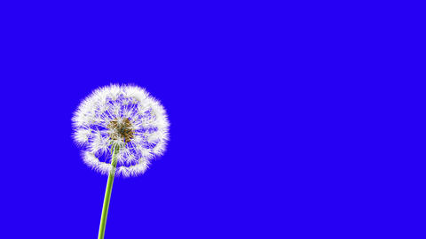 Dandelion on a blue background Animation