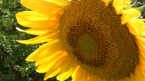 Sunflower and bees Stock Video Footage