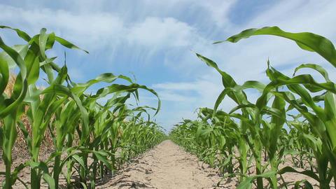 Juvenile Corn Stock Video Footage