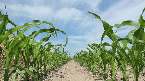 Juvenile Corn Footage