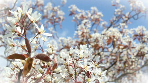 Amelanchier Lamarckii Stock Video Footage
