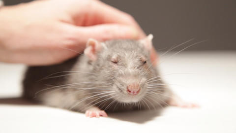 A Man Plays With A Rat stock footage