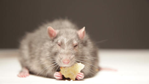 Rat, eats bread Stock Video Footage
