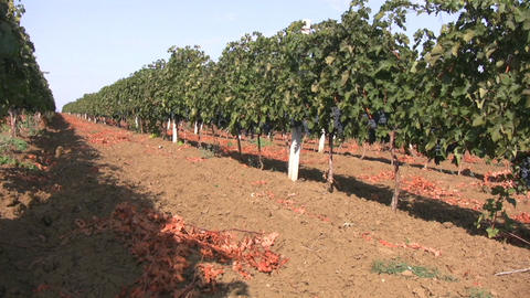 Vineyards Footage