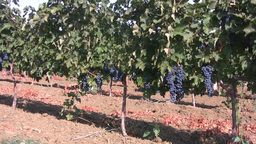 Vineyards Stock Video Footage