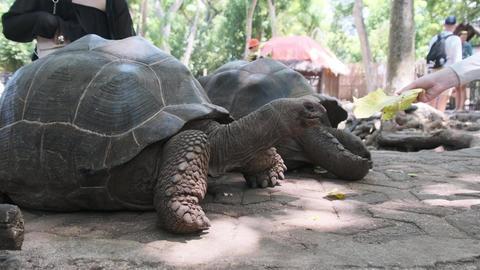 A Huge Aldabra Giant Tortoise Walking on a Prison Island in Zanzibar, Africa Live Action