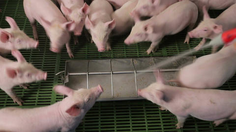 Pigs eat food by pushing each other on a pig farm. Pigs eating from a trough Live Action