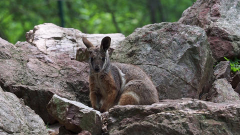 Yellow footed rock wallaby sitting on a rock Live Action