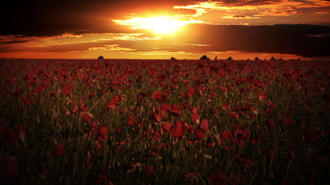 Dramatic sky over the poppy fields Footage