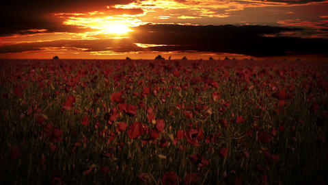 Dramatic sky over the poppy fields Stock Video Footage