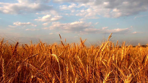 Wheat field Footage
