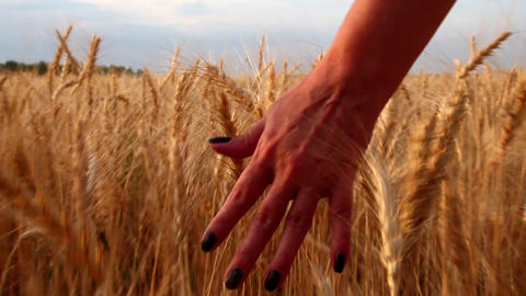 Hand in Wheat Field Footage