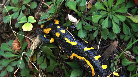 Tailed amphibian, fire salamander Stock Video Footage