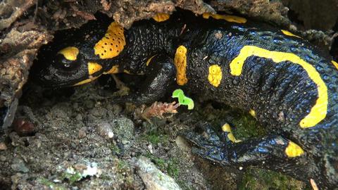 Tailed amphibian, fire salamander Stock Video Footage