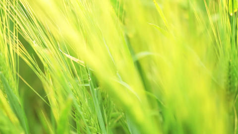 Green wheat. Variable focus Footage