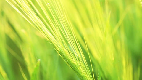 Green wheat. Variable focus Stock Video Footage