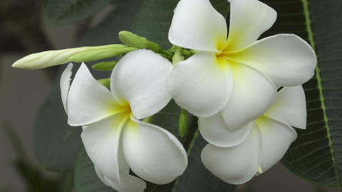 White plumeria Stock Video Footage