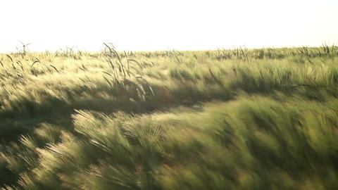 Barley in the breeze Stock Video Footage