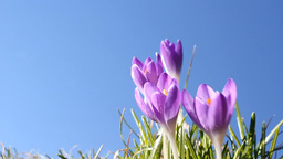 Purple Crocus Stock Video Footage