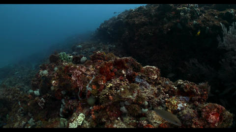 Close up swimming along edge of health coral reef in south florida Live Action