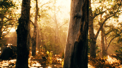 rays of sunlight in a misty forest in autumn Live Action