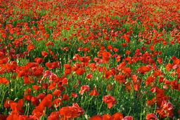 poppy flower field 사진