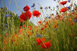 poppy flowers with cornflowers フォト