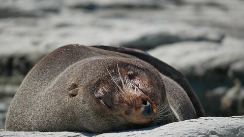 Fur seal lazy sleep in evening at Kaikoura Beach, South Island Live Action