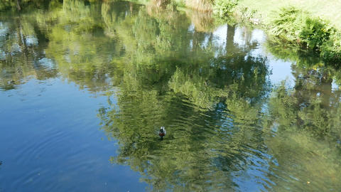 A mallard duck swim freedom in the river at Botanical Garden, Christchurch Live Action