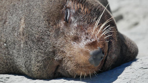 Close up the face of fur seal smile during sleep at Kaikoura, South Island Live Action
