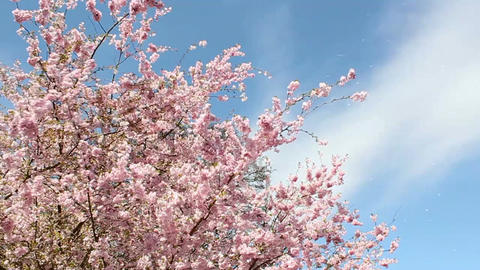 Flowering Cherry Footage