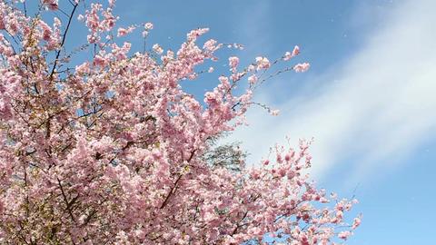 Flowering Cherry Stock Video Footage