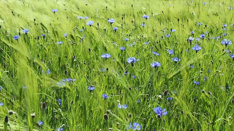 Cornflowers Stock Video Footage